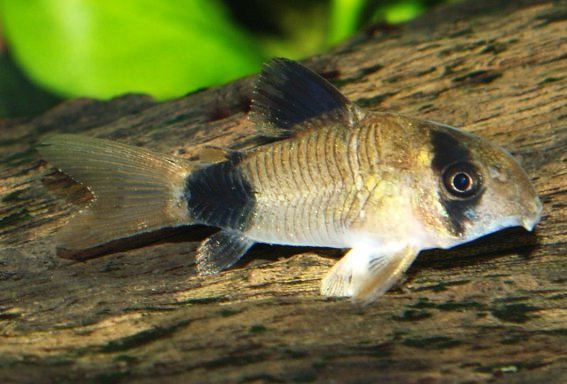 Аквариумная рыбка сомик панда